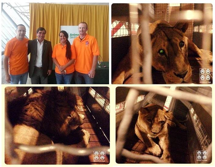 ¡Aplausos! ya están libres en EE.UU. los tres leones de zoológicos de Uruguay