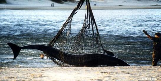 Murieron 81 falsas orcas en el sur de la Florida: en 1999 en Canelones, Uruguay, 17 fueron devueltas vivas al mar
