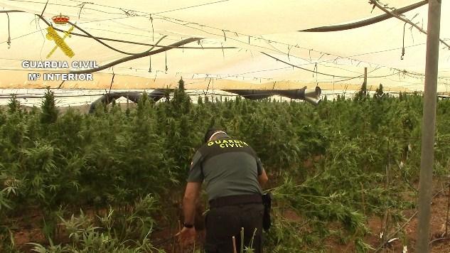 Informe: La Guardia Civil es el principal referente europeo de lucha contra la marihuana